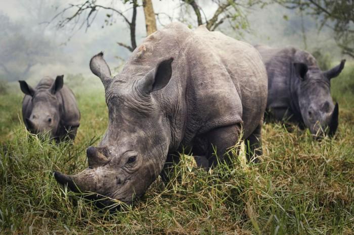 Stefane-Berube-rhino