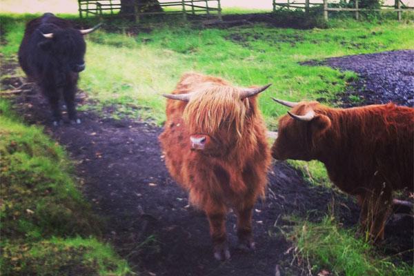 Isle of Skye cows