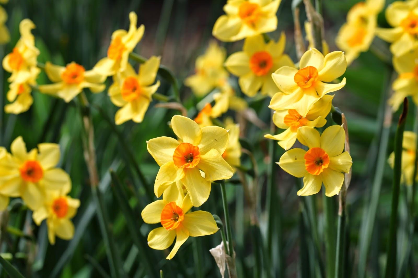 Daffodils-hyde-park