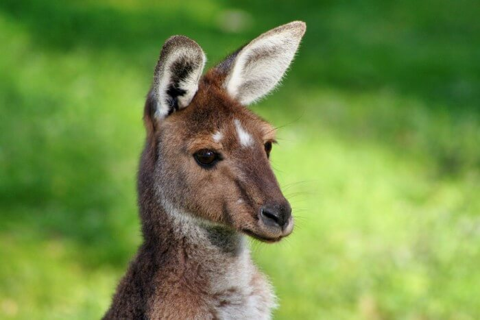 Kangaroo Australia Day